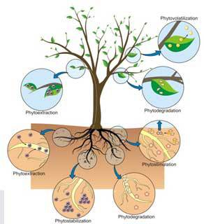 بررسی میزان تاثیر گیاه پالایی در حذف آلاینده ها
